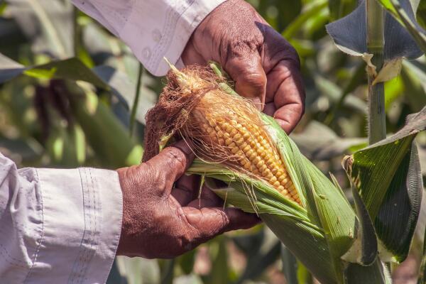 Der Maisanbau -