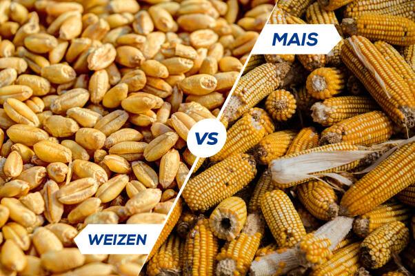Der Vergleich zwischen Mais und Weizen -